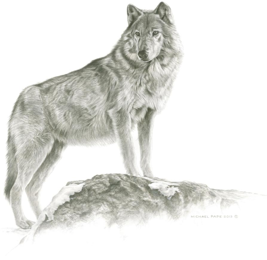 Maikan- Grey Wolf, original pencil drawing is sold. Limited edition giclée wildlife prints on water colour paper are available in two sizes & for sale by Canadian wildlife artist Michael Pape.