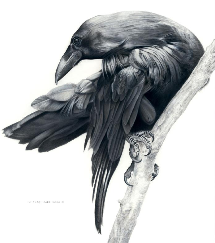 Order limited edition prints or giclée limited edition print of the Common Raven mixed media drawing titled Raven Study by Canadian Wildlife Artist Michael Pape.