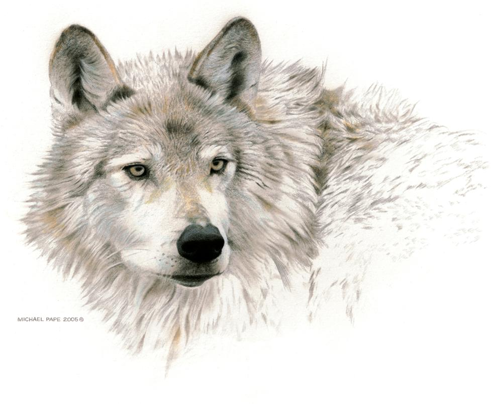 Wolf Head Study by Canadian Wildlife Artist Michael Pape. Original Mixed Media drawing is sold.